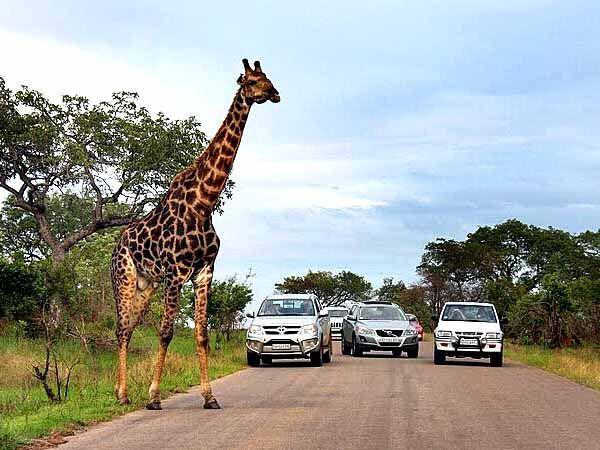 Сафари, саванна, жираф Африка