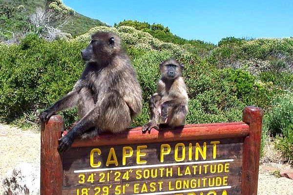 01-cape-point-babuiny